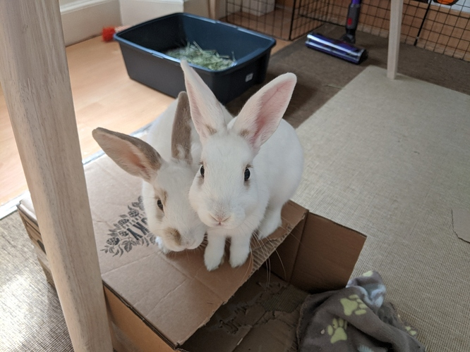 my bunnies: Genghis (left) and Kublai (right)